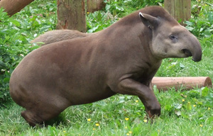 Amazon tapir