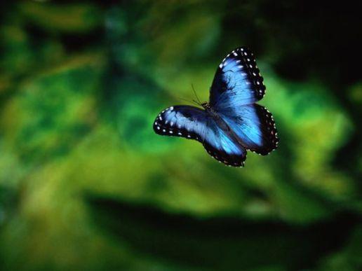 bluebutterfly