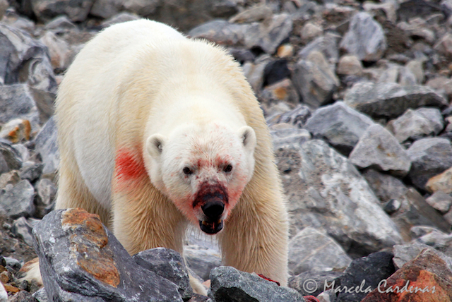 Marcela.Svalbard.Blooddy Teddy.093 (1)