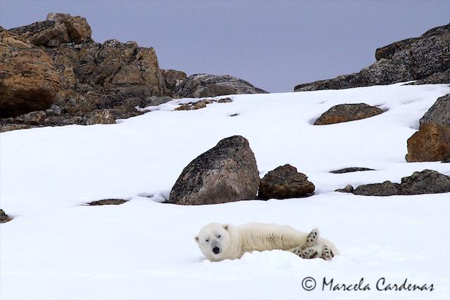 Marcela.Svalbard.Teddy Polarbear.092